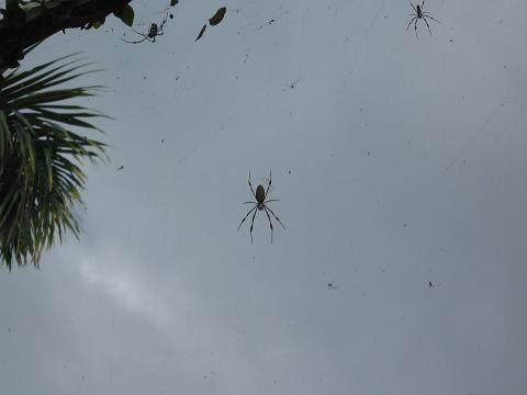 Single banana spider in Jamaica