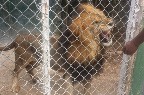 lion at jamaica zoo